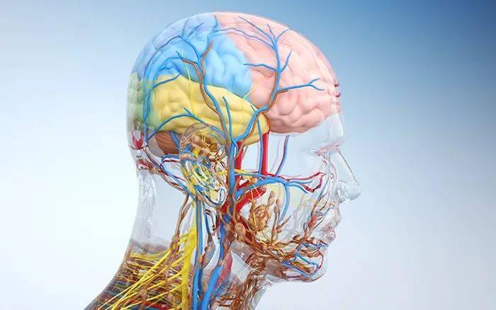 大脑透视图