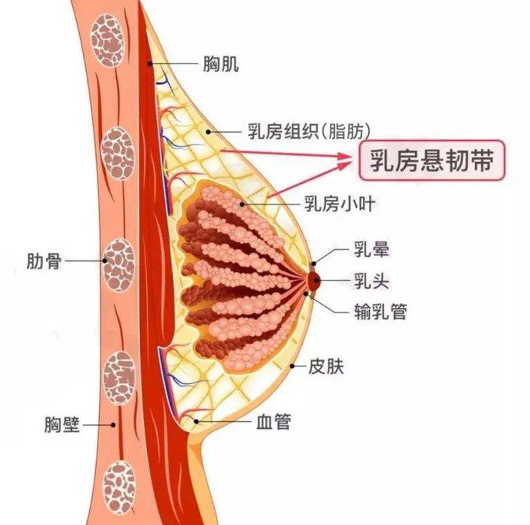 女生胸部的结构