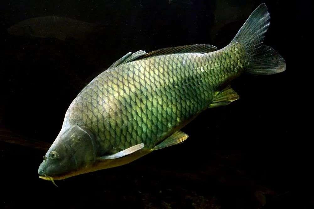 野生淡水鱼类