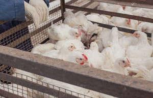 如何正确食用鸡肉才能起到进补效果